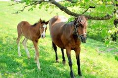 母马和她的驹 库存图片