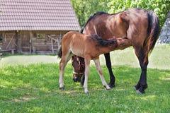 母马和她的驹 免版税库存照片