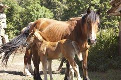 母马和她的驹 免版税图库摄影