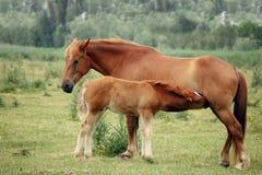 母马和驹哺乳 免版税图库摄影