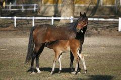 母马和驹在畜栏 免版税库存照片