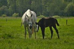 母马和驹在草甸 免版税图库摄影