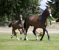 母马和驹拍卖 免版税图库摄影