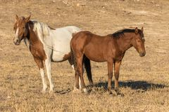 母马和驹野马在犹他 库存照片