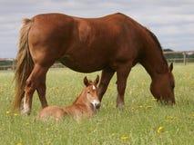 母马和驹 库存照片
