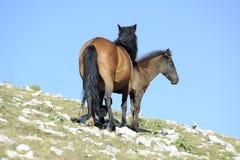 母马和驹 库存图片