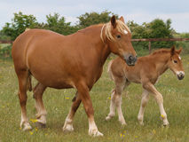 母马和驹 免版税库存图片