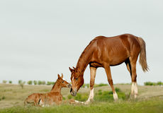 母马和驹 免版税图库摄影