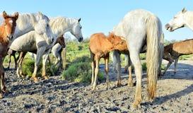 母马喂养一只驹 Camarque白马  免版税库存图片