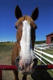 母马的观点的一匹良种短距离冲刺的马 免版税库存图片