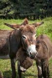 驴母马的画象 免版税库存图片