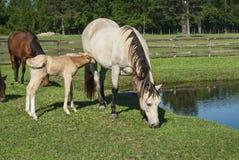 母马&驹的饲养时间 免版税库存图片