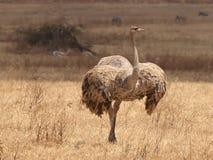 母驼鸟-联接的仪式 免版税库存照片