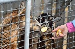 母骆马从一只手被喂养在动物园里 免版税图库摄影