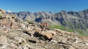 母高地山羊在看与意大利法国阿尔卑斯的岩石栖息照相机在背景中 影视素材