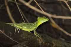 母鲜绿色蛇怪蜥蜴在Tortuguero -哥斯达黎加 免版税库存照片