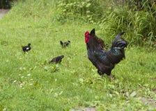 母鸡、雄鸡和Chicklets 免版税库存图片