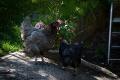 母鸡二 免版税库存照片