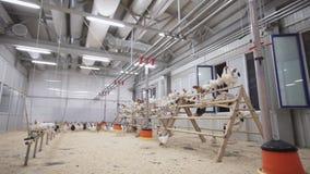 母鸡从杆、挥动的翼和奔跑跳到室的其他末端 股票录像