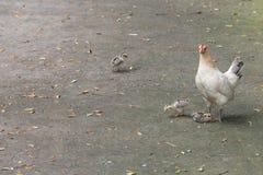 母鸡和三小鸡 免版税库存照片