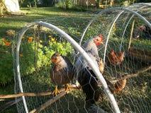 母鸡和公鸡在鸡拖拉机 免版税库存照片