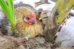 母鸡和小鸡在巢 图库摄影