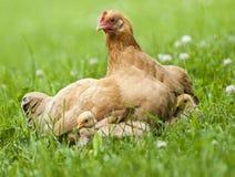 母鸡和小鸡 免版税库存照片
