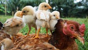 母鸡和小鸡 库存图片