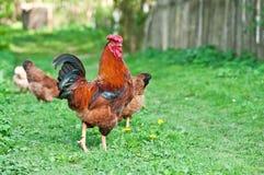 母鸡和雄鸡 库存照片