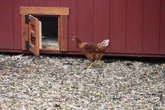 母鸡和鸡窝门 库存照片