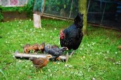 母鸡和鸡 库存图片