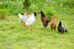 母鸡和鸡 库存照片