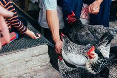 母鸡哺养 男孩和人从手被喂养与一把红色梳子的一只黑鸡 免版税库存照片
