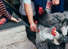 母鸡哺养 男孩和人从手被喂养与一把红色梳子的一只黑鸡 免版税库存图片