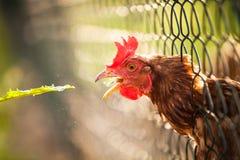 母鸡在仓前空地 免版税图库摄影