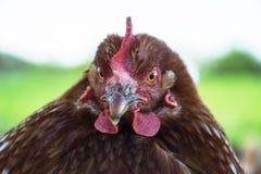 母鸡在传统农村仓库广场哺养晴天 母鸡头细节  坐在鸡窝的鸡 鸡接近 免版税库存照片