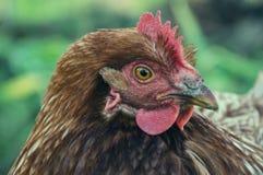 母鸡在传统农村仓库广场哺养晴天 母鸡头细节  坐在鸡窝的鸡 鸡接近 库存图片