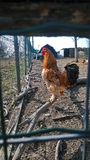 母鸡在农场 库存照片
