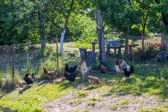母鸡在夏天在有公鸡的庭院里 库存照片