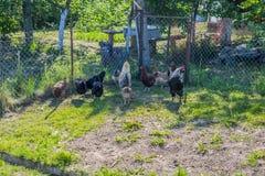 母鸡在夏天在有公鸡的庭院里 免版税图库摄影