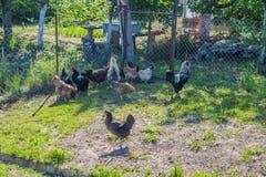 母鸡在夏天在有公鸡的庭院里 库存图片
