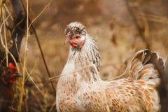 母鸡在庭院里 农业时间 家畜和禽畜 库存照片