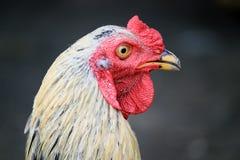 母鸡头 图库摄影