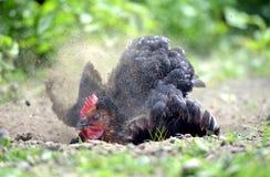 母鸡尘土浴 库存图片
