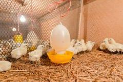 母鸡愉快在农场 库存照片