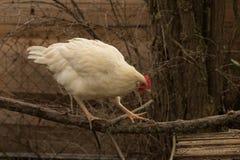 母鸡攀登 免版税库存照片