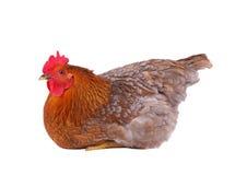 母鸡查出的白色 免版税库存照片