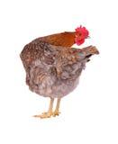 母鸡查出的白色 免版税库存图片