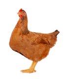 母鸡查出的白色 图库摄影