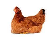 母鸡查出的白色 库存图片